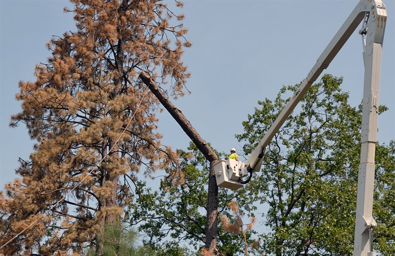 Tree being cut down by PG & E - - Photo courtesy of Amy Quinton / Capital Public Radio